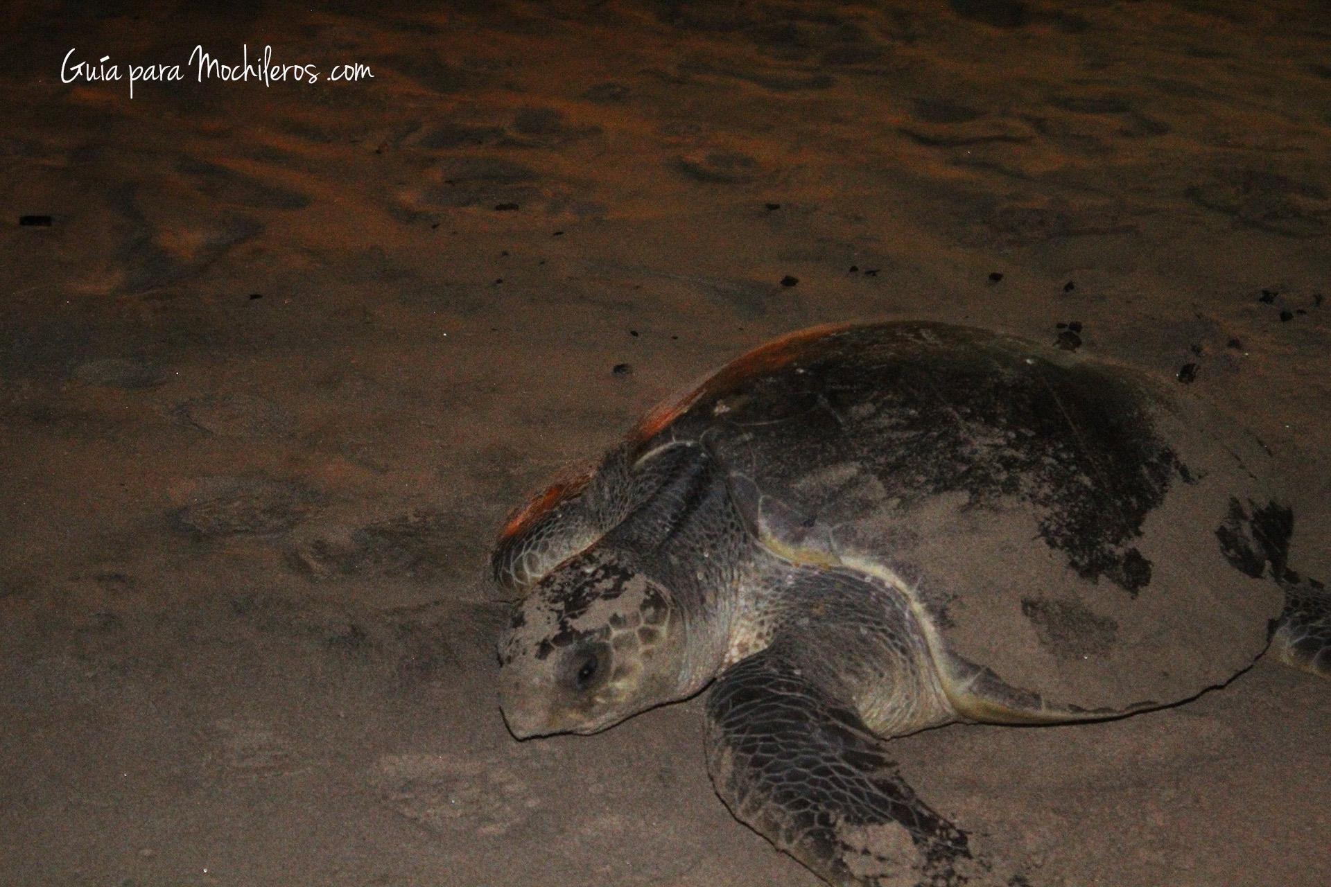 Las tortugas ponen huevos en las playas de Montañitas