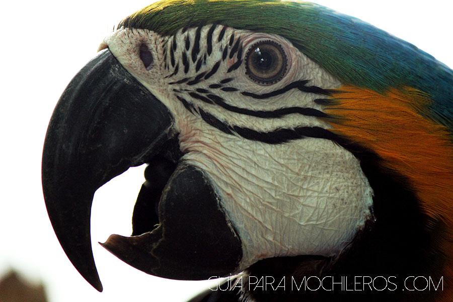 Papagayo o Guacamaya