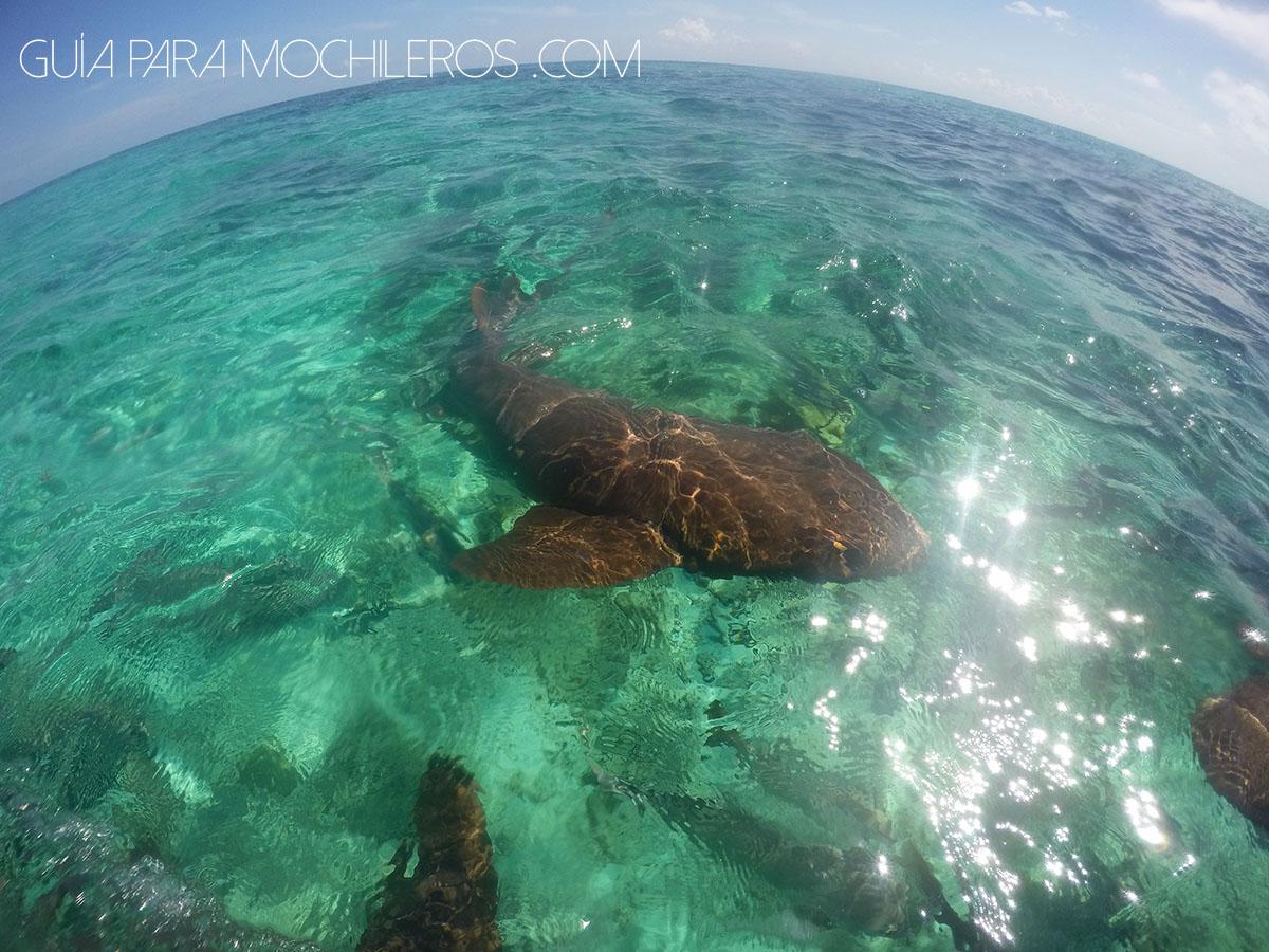 Cayo Caulker, Belice: Nadando con tiburones