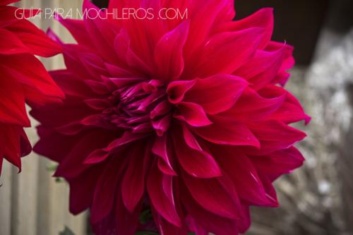 Dalia Rosada flor