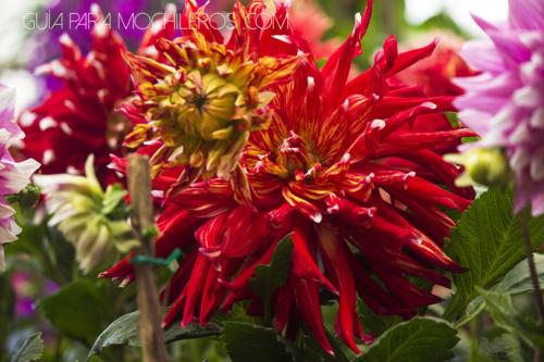dalia flor mexicana